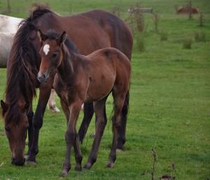 O brown horse n foal