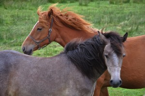 O red and tan horses