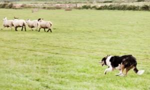 QASheepdog-Trials