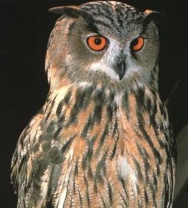 eagleOwl cropped