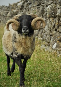 q horny sheep