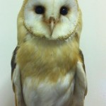 Pet owl on Tullyboy Farm