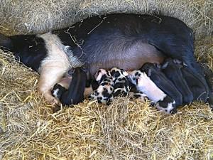 Newborn piglets oct 2012 Tullyboy Farm