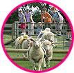 sheepracing2