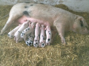 D Polly with piglets 2