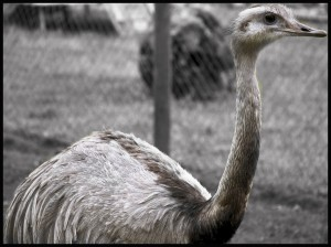 D ostrich